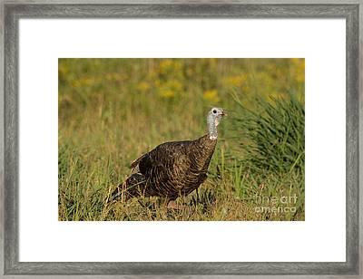 Eastern Wild Turkey Framed Print by Linda Freshwaters Arndt