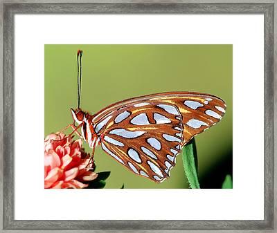 Gulf Fritillary Butterfly Framed Print by Millard H Sharp