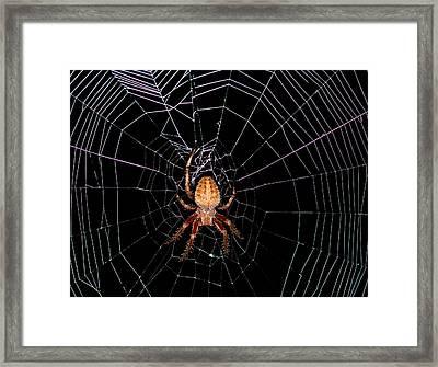 7 Legged Spotted Orb Weaver Framed Print by Lara Ellis