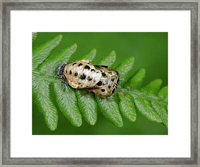 7-spot Ladybird Emerging From Pupa Framed Print by Nigel Downer
