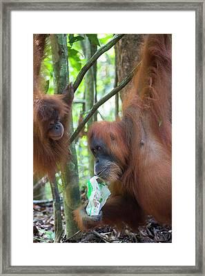 Sumatran Orangutan Framed Print by Scubazoo