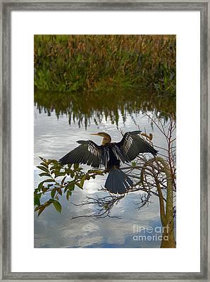 Anhinga Framed Print by Mark Newman