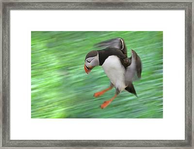 Atlantic Puffin (fratercula Arctica Framed Print by Keren Su