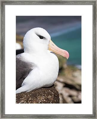 Black-browed Albatross (thalassarche Framed Print by Martin Zwick