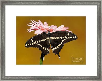 Giant Swallowtail Butterfly Framed Print by Millard H. Sharp