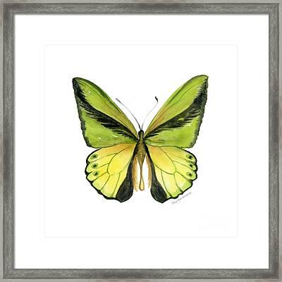 8 Goliath Birdwing Butterfly Framed Print by Amy Kirkpatrick