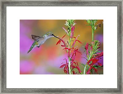 Ruby-throated Hummingbird (archilochus Framed Print by Richard and Susan Day