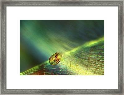 Shelled Amoeba Framed Print by Marek Mis