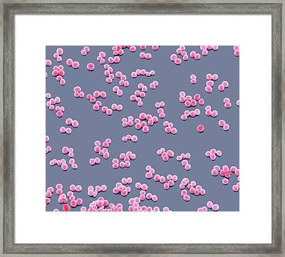 Staphylococcus Epidermidis Bacteria Framed Print by Steve Gschmeissner