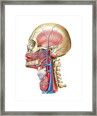 Venous System Of The Head And Neck Framed Print by Asklepios Medical Atlas