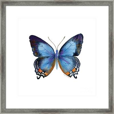 80 Imperial Blue Butterfly Framed Print by Amy Kirkpatrick