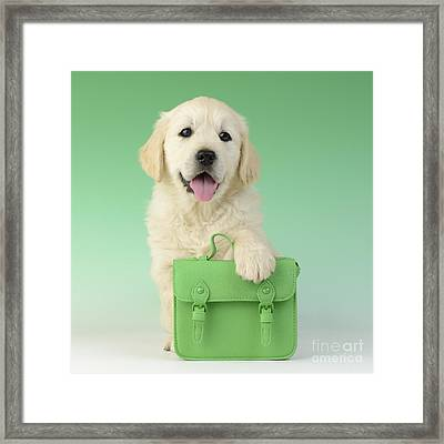9 - 5 Retriever Dp914sq Framed Print by Greg Cuddiford
