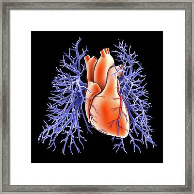 Circulatory System Of Heart And Lungs Framed Print by Alfred Pasieka
