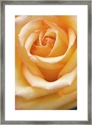 Close Up Of Single Rose (rosa Hybrid) Framed Print by Maria Mosolova