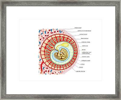 Embryo Framed Print by Asklepios Medical Atlas
