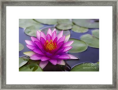 Pink Lotus Framed Print by Anek Suwannaphoom