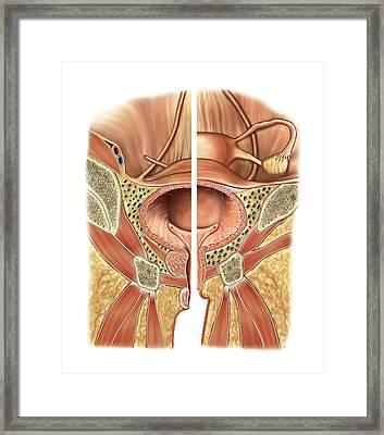 Urinary Bladder And Urethra Framed Print by Asklepios Medical Atlas
