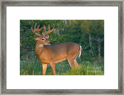 White-tailed Buck Framed Print by Linda Freshwaters Arndt