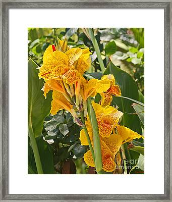 A Beautiful Yellow Canna Lilly Framed Print by Kenny Bosak