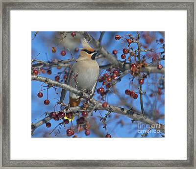 A Bird For Its Crest.. Framed Print by Nina Stavlund