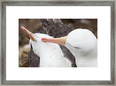 A Black Browed Albatross Framed Print by Ashley Cooper