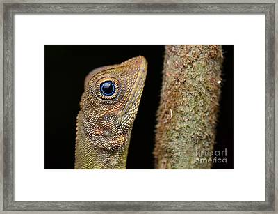 A Blue Eye Lizard Sitting On The Tree In The Natural Habitat. Close-up  Framed Print by Artpixelgraphy Studio