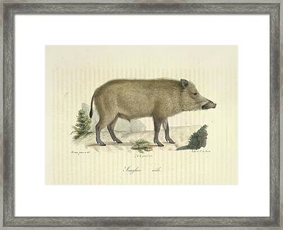 A Boar Framed Print by British Library