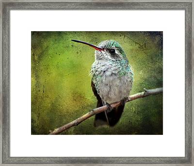 A Broad-billed Hummer Framed Print by Barbara Manis