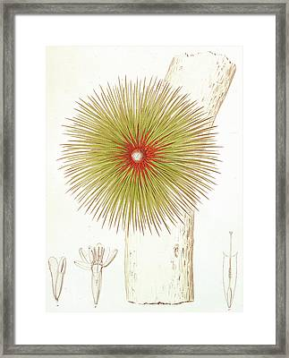 A Bromelia Found In The Andes Framed Print by French School
