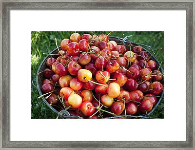 A Bucket Of Ripe Ranier Cherries Framed Print by Leanna Rathkelly