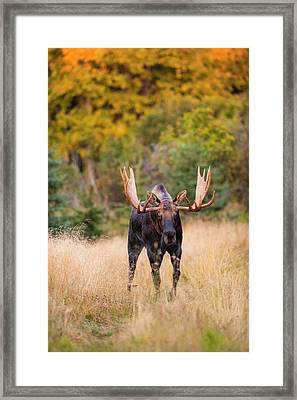 A Bull Moose In Rut  In Kincaid Park Framed Print by Michael Jones