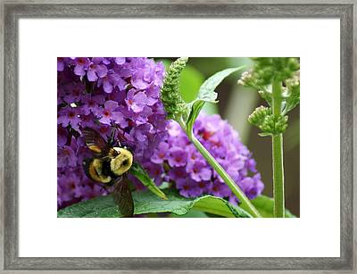 A Bumblebee In The Garden Framed Print by Kim Pate