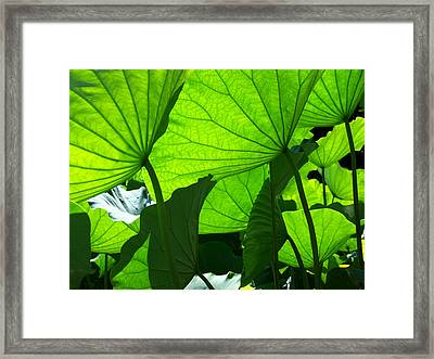 A Canopy Of Lotus Leaves Framed Print by Larry Knipfing