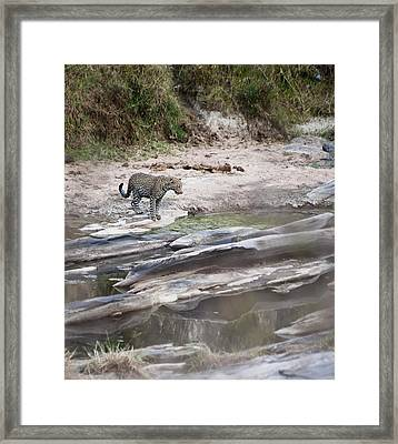 A Cheetah Stands At The Edge Of The Framed Print by Diane Levit