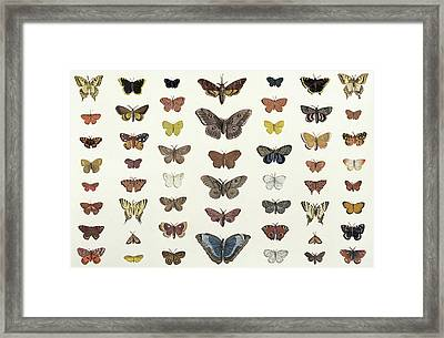 A Collage Of Butterflies And Moths Framed Print by French School