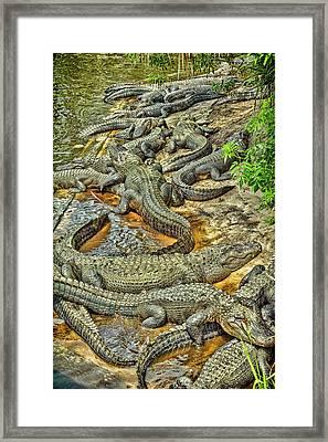 A Congregation Of Alligators Framed Print by Rona Schwarz