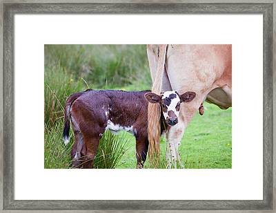 A Cow With A New Born Calf Framed Print by Ashley Cooper