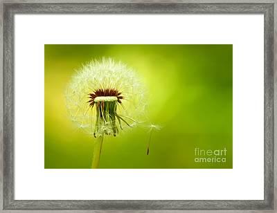 A Dandelion Blown By The Wind Framed Print by Leyla Ismet