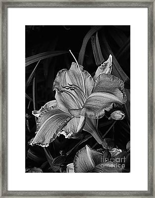 A Daylily Bloom In Original Black And White Framed Print by ImagesAsArt Photos And Graphics