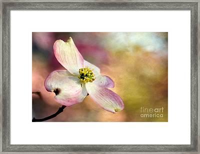 A Dogwood Bloom Framed Print by Darren Fisher