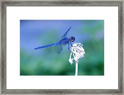 A Dragonfly V Framed Print by Raymond Salani III