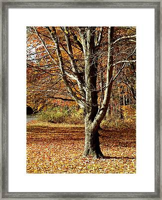 A Fall Tree In New England Framed Print by Mike McCool