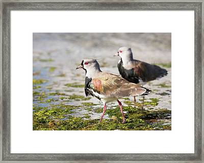 A Flock Of Southern Lapwings Framed Print by Ashley Cooper