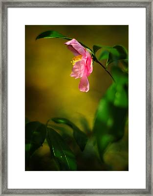 A Golden Day Portrait Of A Pink Camellia Framed Print by Rebecca Sherman