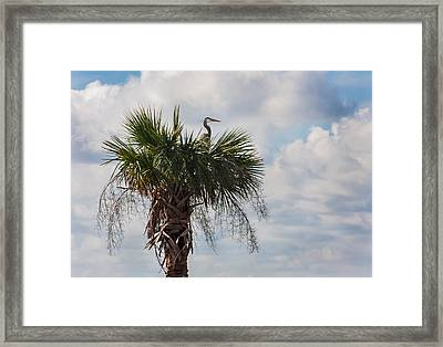 A Great Blue Heron Nests On A Cabbage Palmetto Framed Print by Karen Stephenson