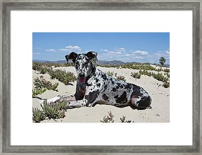 A Great Dane Lying In The Sand Framed Print by Zandria Muench Beraldo