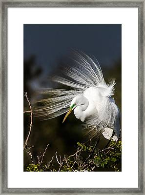 A Great Egret On A Windy Day Framed Print by Ellie Teramoto
