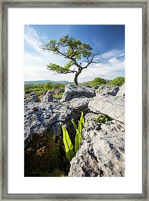 A Hawthorn Tree And Harts Tongue Fern Framed Print by Ashley Cooper