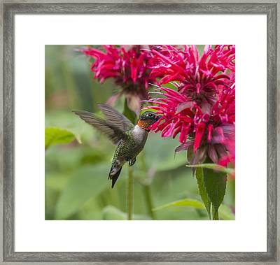 A Hummingbird Hovers By A Bright Pink Framed Print by Julie DeRoche