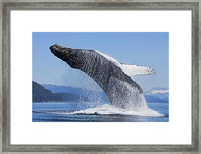 A Humpback Whale Breaches Framed Print by John Hyde